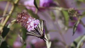 Papillon banque de vidéos