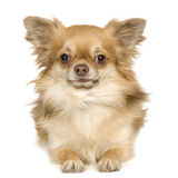 Papillon. In front of a white background royalty free stock photos