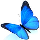 Papillon. Image stock