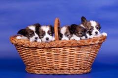 在篮子的五只Papillon小狗在蓝色 库存图片