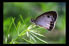 Papillon Photo stock