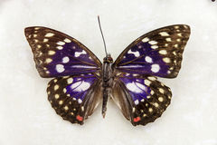 Papillon Photos stock
