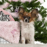 Papillon, 7 months old, sitting with Christmas Royalty Free Stock Photo