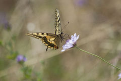 Papillon Image stock