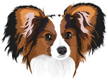 Papillon Royalty Free Stock Photography