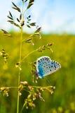 Papillon Photo stock