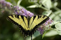 Papillon 1 photo stock