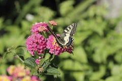 Papillon alimentant dans sping photos stock