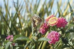 Papillon alimentant sur la fleur rose photos libres de droits