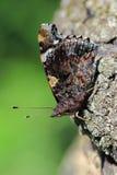 Papillon - amiral rouge (atalanta de Vanessa) Image stock