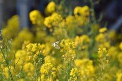 Papillon Anthocharis exemplaire photographie stock libre de droits