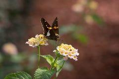 papillon Argent-repéré de capitaine sur des fleurs de Lantana image libre de droits