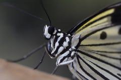 Papillon asiatique de nymphe d'arbre Photo libre de droits