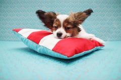 Papillon asleep on a pillow Royalty Free Stock Photo