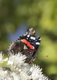 Papillon (atalanta de Pyrameis) Images libres de droits
