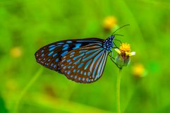 Papillon au-dessus d'une fleur en Koh Phangan photos stock