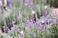 Papillon au-dessus des fleurs de lavande photo stock