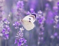 Papillon au-dessus des fleurs de lavande image stock