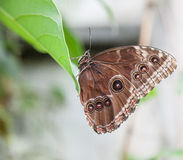 Papillon avec des ailes fermées Photo stock