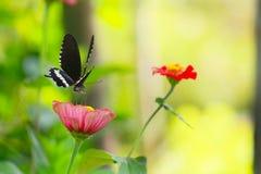 Papillon avec des fleurs Photographie stock libre de droits