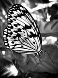 Papillon avec l'aile endommagée Photographie stock libre de droits