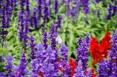 Papillon avec la lavande photo libre de droits