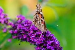 papillon avec les ailes pliées se reposant sur une fleur pourpre Photographie stock