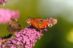 papillon avec les ailes répandues sur une fleur Photo stock
