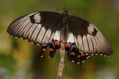Papillon avec les taches rouges Image stock