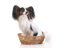 Papillon in a basket Royalty Free Stock Photos