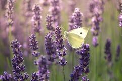 Papillon blanc Photo libre de droits