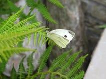 Papillon blanc photographie stock