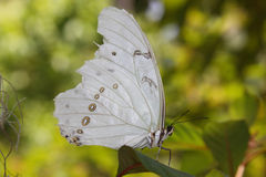 Papillon blanc Photo stock