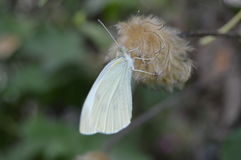 Papillon blanc photos stock