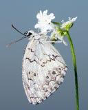 Papillon blanc Photographie stock libre de droits