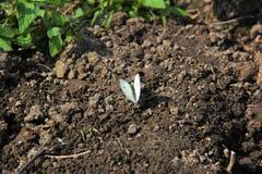Papillon blanc au sol image stock