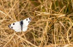 Papillon blanc avec les taches noires Image libre de droits