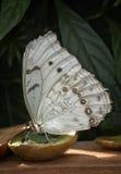 Papillon blanc de Morpho Photographie stock libre de droits