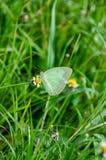 Papillon blanc doux Photographie stock libre de droits