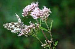 Papillon blanc marbré sur une fleur Images libres de droits
