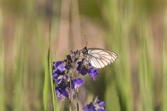 Papillon blanc se reposant sur les fleurs pourpres photos libres de droits