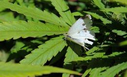 Papillon blanc sur la feuille de cannabis image libre de droits