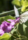 Papillon blanc sur une fleur rose Photographie stock