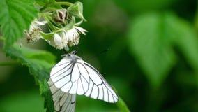 Papillon blanc veiné par noir sur des fleurs de framboise banque de vidéos