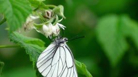 Papillon blanc veiné par noir sur des fleurs de framboise clips vidéos