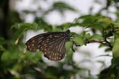 Papillon blaues Brown Stockbild