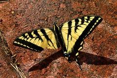 Papillon blessé Photos stock