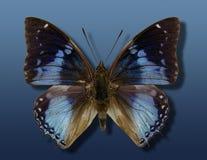 Papillon bleu Image libre de droits