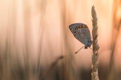 Papillon bleu au lever de soleil Photographie stock libre de droits