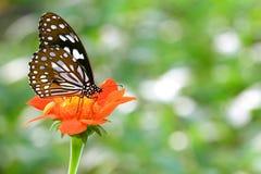 Papillon bleu-clair de tigre sur la fleur Photographie stock libre de droits